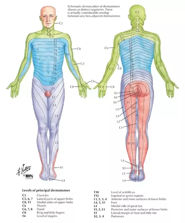 Can nerve damage to L4 and L5 affect the dermatomes in your feet ...