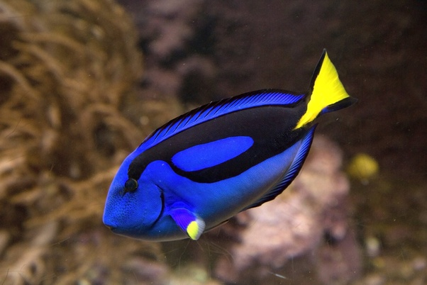 In finding nemo what kind of fish is dory quora for What kind of fish is this
