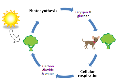 How is food synthesized through the cellular respiration process how is food synthesized through the cellular respiration process ccuart Image collections