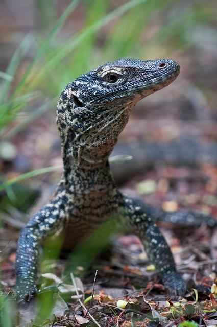 Komodo Dragon, The Giant Lizard | Amazing Creatures |Cute Baby Komodo Dragons