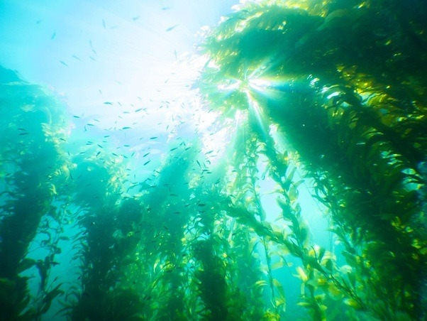 kelp is a multicellular brown algae classified as protist living in dense coastal stands kelp forest capable of reaching 80 meters tall