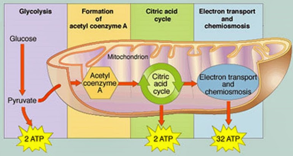 What are the sites of aerobic cellular respiration quora atp is generated through oxidative phosphorylation in the mitochondria where electrons e from the reduced electron carriers nadh and fadh2 are passed ccuart