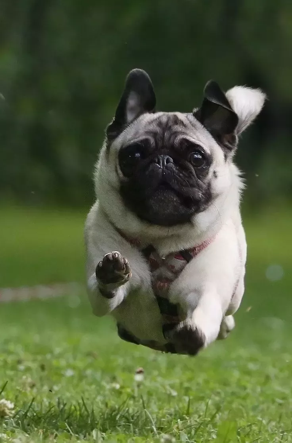 What is the cost of a baby pug in India? - Quora