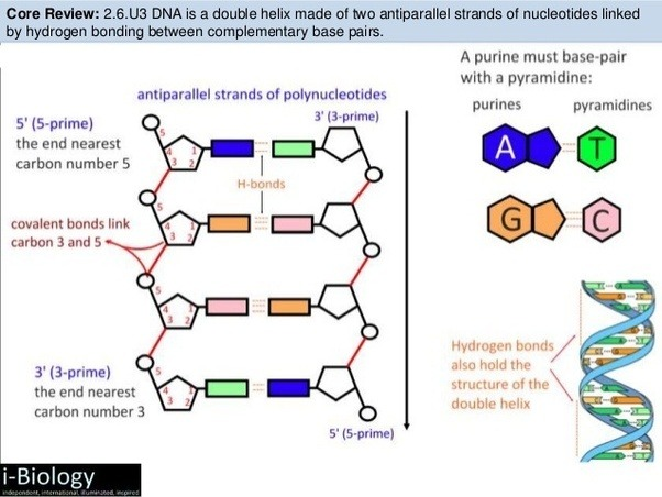 Is this ncert diagram of dna wrong or is it a diagram of z dna quora this is the correct structure ccuart Choice Image