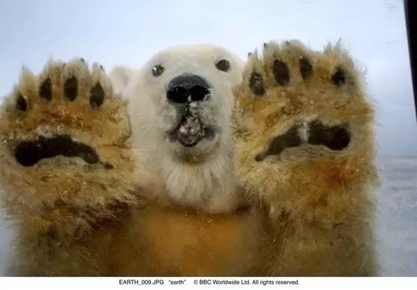 Polarpaws