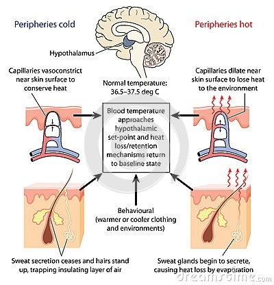 Which part of the brain regulates body temperature quora ccuart Images