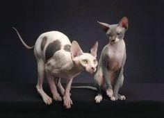 Why Sphynx Cats Cost So Much | Learn About The Sphynx Cat