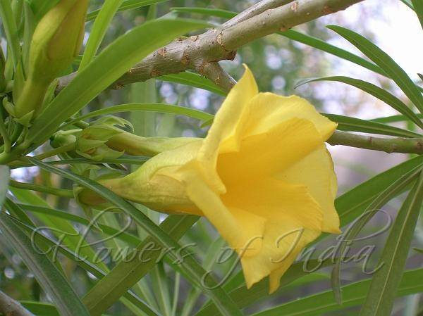 What are some flowers or specific flowers offered to lord shiva yellow oleander or peely caner etc mightylinksfo