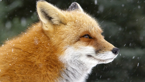 Are foxes more closely related to dogs or cats? Why haven't