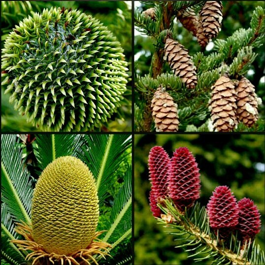How Do Seeds From Gymnosperms Function If The Plants Dont Flower