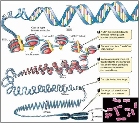 relationship between nucleosomes and histones