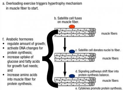 Does Muscle Soreness Indicate Muscle Hypertrophy