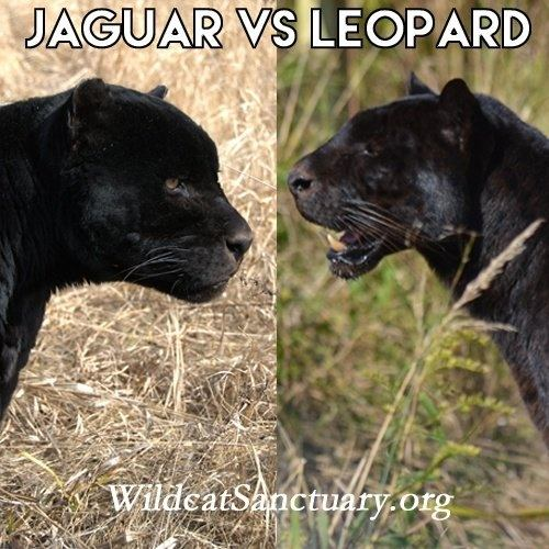 Leopard V Jaguar: What Are The Differences Between A Black Leopard And A