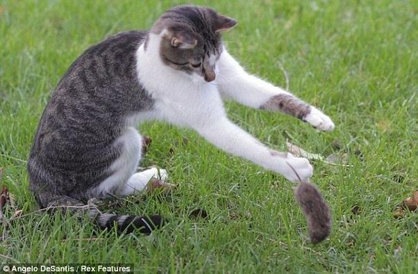 Rabbits move fast and the cat will not risk it getting away, and young  rabbits have little chance of injuring the cat.