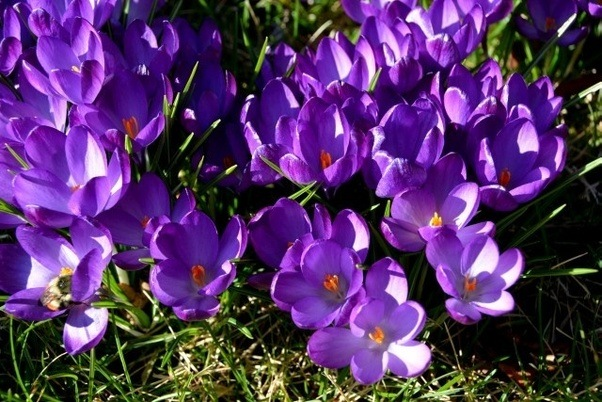 What is this spring blooming low growing purple flower with bright main qimg 158139c923c5d86f48a7db5e7fe9a63e c mightylinksfo