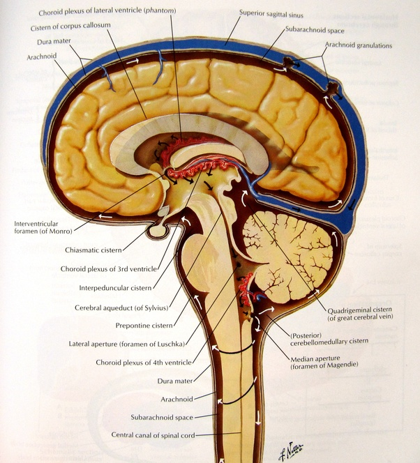 What Is The Difference Between Meninges Of Brain And Spinal Cord