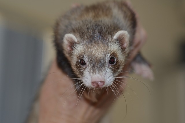 What Is The Best Cat Food For Ferrets Quora