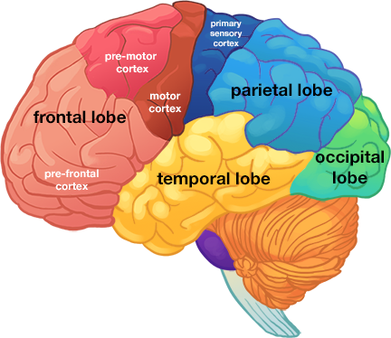 Is The Occipital Lobe In The Front Or Back Of The Head Quora