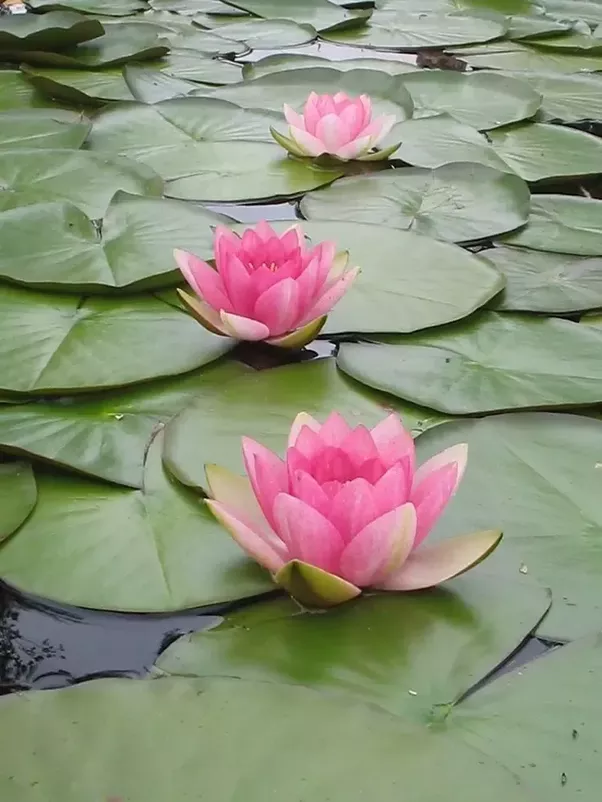 (1) The lily flower floats on the surface of water while lotus just emerges from the water surface.