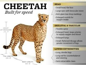 Cheetah Running Full Speed