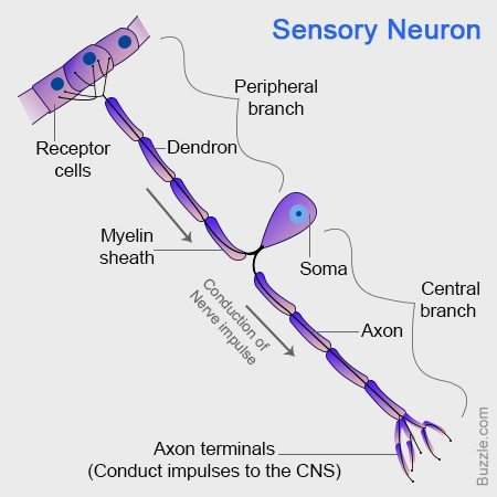 What Is The Structure Of A Sensory Neuron Quora