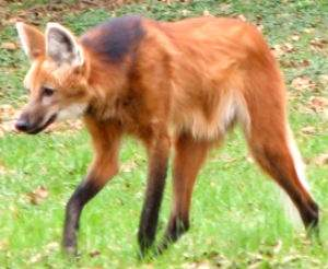 Can Maned Wolves Breed With Dogs