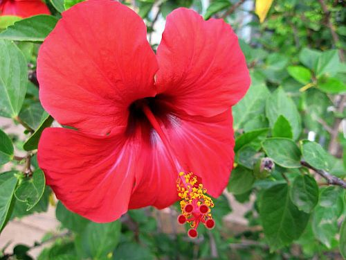 What Is The Scientific Name Of A Hibiscus Leaf And Its Uses Quora