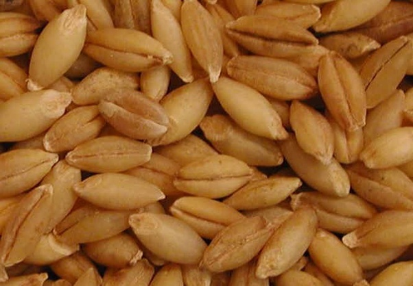 Do oats mean 'jou' in Hindi? - Quora