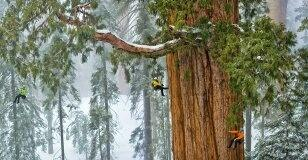 unlike a regular christmas tree which can take a year or more to reach 6 8 feet redwood trees can grow to over 200 feet tall very hard to transport as - How Long Does A Christmas Tree Take To Grow