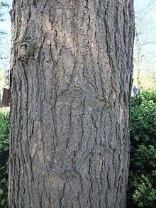 How To Identify An Eastern Hemlock Tree Quora