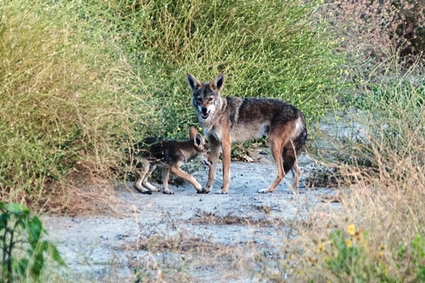 dog fights coyote