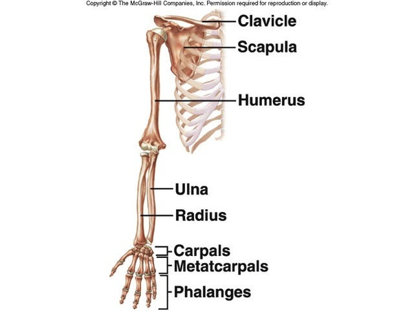 How Many Bones Are In The Arms And Hands Quora