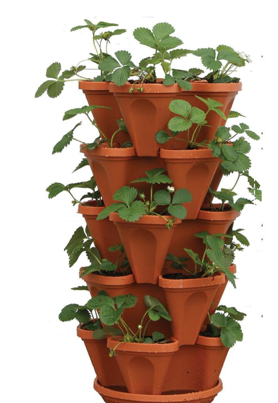 How To Grow Strawberries In Pots Quora