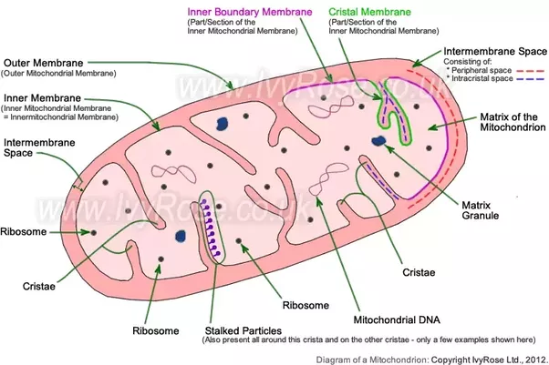 why is mitochondria called semi autonomous quora