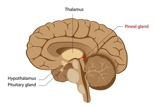hypothalamus and pituitary glands relationship help
