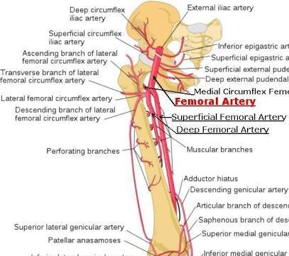What Are Some Good Ways Of Finding The Femoral Artery Quora