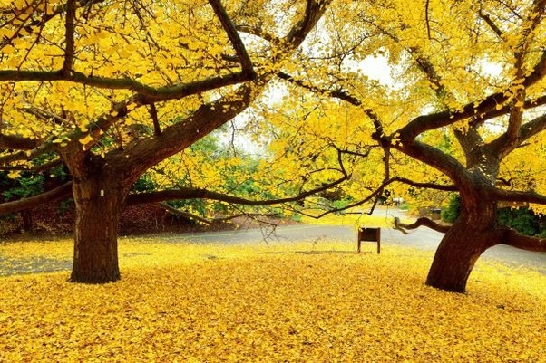 do leaves on trees in southern california fall in winter. Black Bedroom Furniture Sets. Home Design Ideas