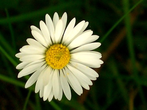 Looking For Alaska Daisy: What Are Some Examples Of White Flowers?