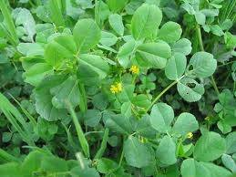 What variety of clover in illinois has yellow flowers quora another clover type lawn weed with yellow flowers is burclover of the medicago genus that genus includes many yellow flowering plants including varieties mightylinksfo