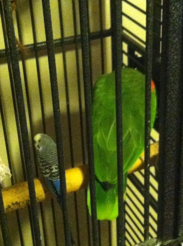 Is it true that when a budgie that is kept as a pet escapes into the