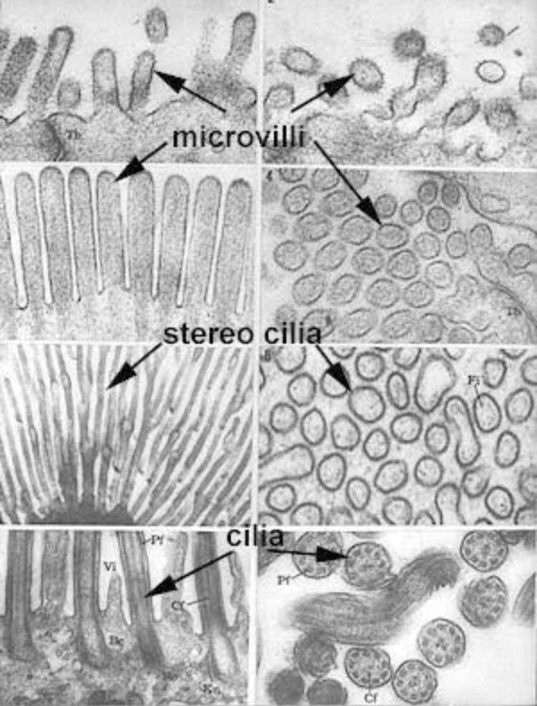 what is the difference between microvilli and cilia? quora Cilium Microvilli Diagram the histology guide epithelia