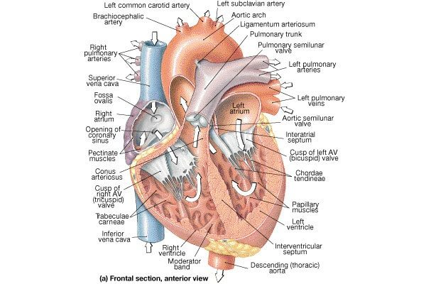 How Does The Power Of Contraction Of Left Ventricle Is Much Higher
