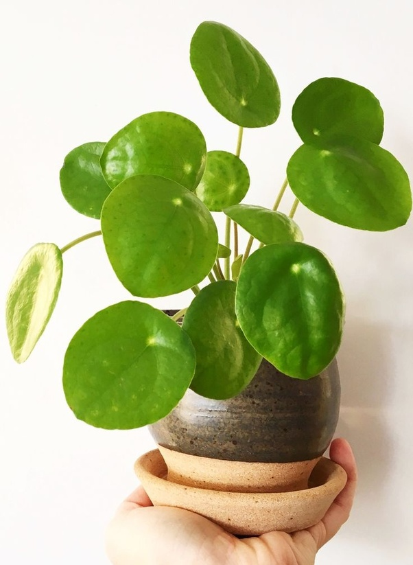 What indoor plant produces the most oxygen? - Quora