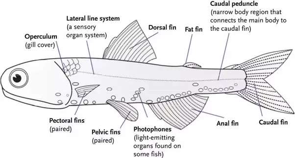 Is a fish\'s tail fin a fin or a tail? - Quora