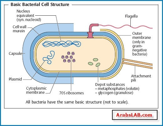 Why do bacterial cells divide quora instead the circular dna containing genes essential to their survival is clustered in a region of the bacterial cell known as the nucleoid see below ccuart Gallery