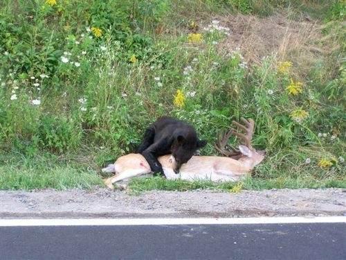 Image result for roadkill deer
