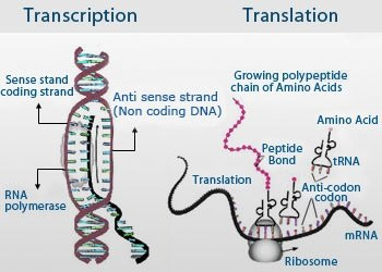 What are the major differences between transcription and translation 10 the product undergos processing that involves cutting modification of nitrogen bases folding and attaching of specific groups at the ends ccuart Images