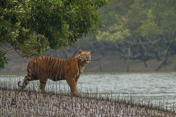 What would happen if 100 wild sunderban tigers are relocated