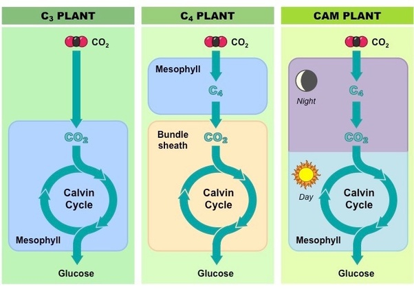 Are C4 Plants Better Energy Managers Than C3 Plants Quora
