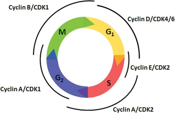 What Goes Wrong During The Cell Cycle In Cancer Cells Quora